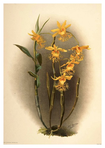 029-Dendrobium Brymerianum-Reichenbachia-Orchids illustrated and described..VolI I-1888-F.Sander