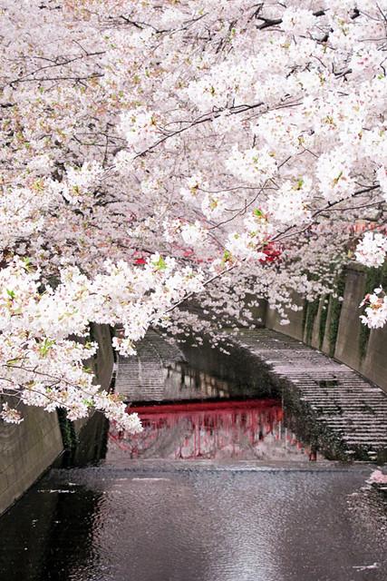 110409_164043_目黒川_桜