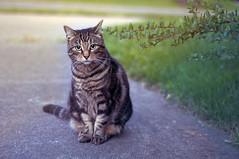 [フリー画像] 動物, 哺乳類, 猫・ネコ, 201108311100