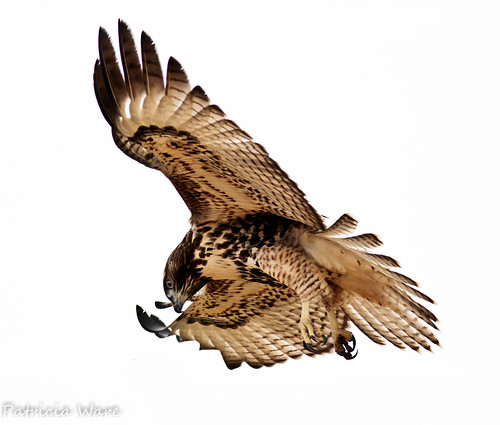 Hovering Red-tailed Hawk