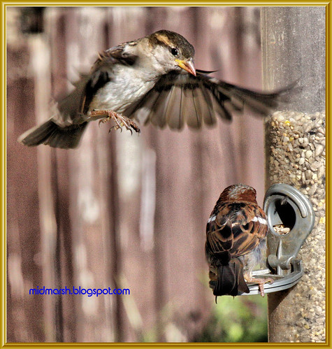 Sparrow Altercation 0