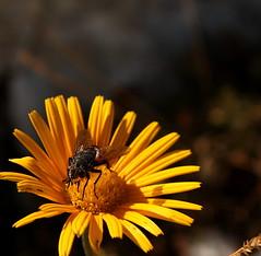 Leggera si posa (Airone87) Tags: wallpaper flower macro fauna flora flor amarillo gelb giallo mosquito blume fiore mosca sfondo lessinia sgiorgio yelloy canoneos400d airone87