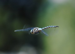 dragonfly in flight (queen's dragon) Tags: nature beauty insect moments dragonflies lucky views majical