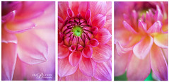 Dahlia Trip (kim-by-the-sea) Tags: flowers triptych pinkdahlias