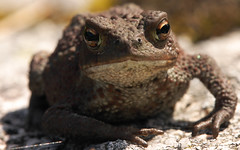 Toad (Thomas Trud) Tags: toad
