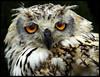 Eurasian eagle owl (bubo bubo) (hawkgenes) Tags: uk nature birds wildlife owls birdsofprey colorphotoaward flickrdiamond predetors hawkgenes eurasianeagleowlbubobubo