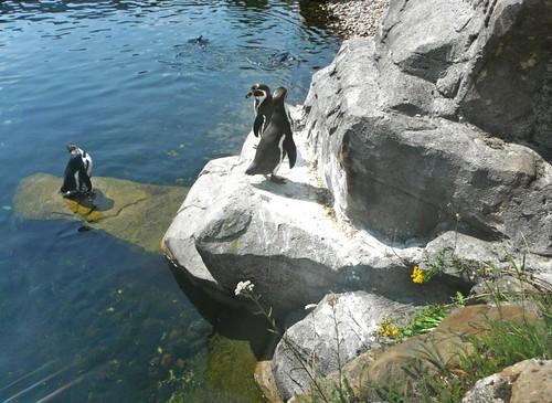 pinguins Hippo enzo