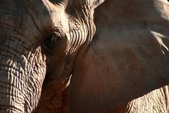 Guess who? (Johnny Photofucker) Tags: zoo close zoológico belohorizonte elefant horizonte bh elefante belo paquiderme