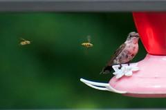 _DSC4129 (ChanHawkins) Tags: hummingbird bees grandhaven