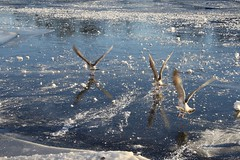 seagulls on ice (bluerapsody) Tags: blue winter snow cold reflection ice nature birds norway landscape fly frozen seagull scandinavia mandal