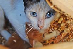 - Protecting (quimvipu1994) Tags: blue cats baby eye azul cat ojo eyes nikon kitten gatos beb ojos gato cachorro