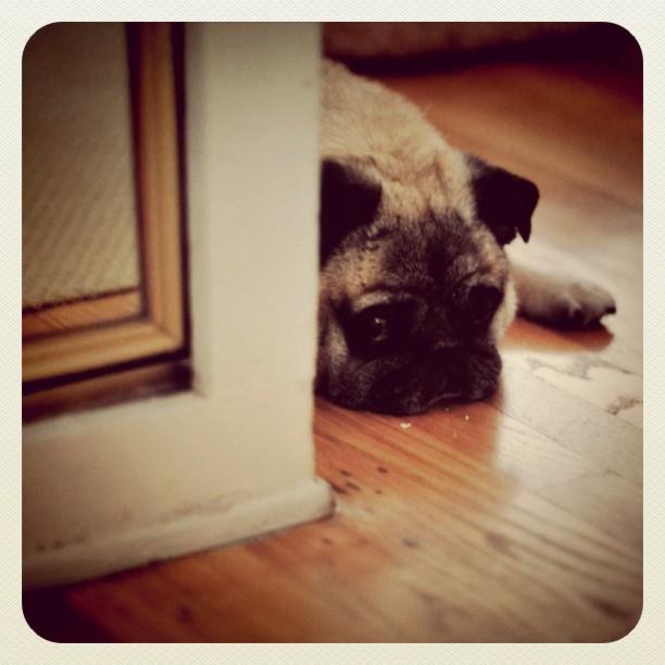 Shy Bebop #pug