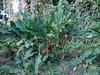 DSC02718 (rantavani) Tags: plantas tropicais