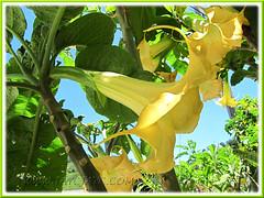 Brugmansia suaveolens (Angel's Trumpet) - hybrid with golden yellow flowers, maybe 'Inca Sun'