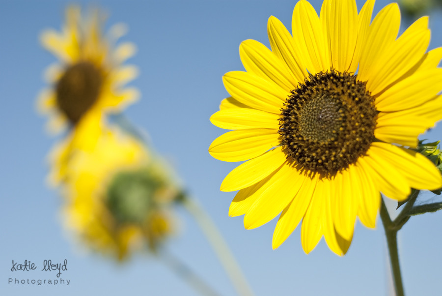 2011-09-13_sunflowers_2894