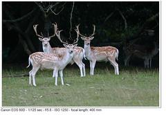Fallow Deer (John P Norton) Tags: fauna fallowdeer f56 chatsworthhouse aperturepriority damadama ef400mmf56lusm 1125sec focallength400mm canoneos60d copyright2011johnnorton
