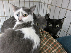 Mady, Mandy, and Mike (Goathouse Refuge) Tags: mandy mike kitten kittens mady