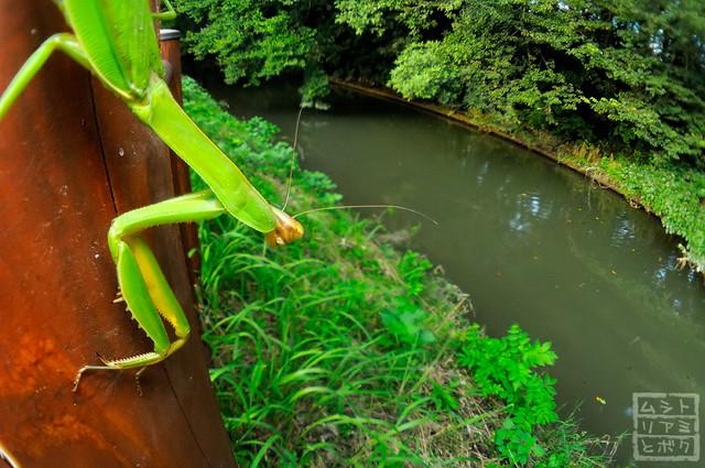 Tenodera aridifolia (stare at the river)
