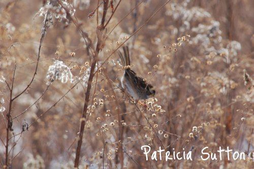 Sparrow eating seed heads w-sig