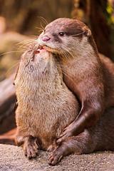 [フリー画像] 動物, 哺乳類, カワウソ, カップル (動物), キス, 201108121100