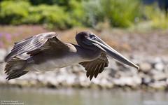 Brown Pelican (Bob Stronck) Tags: pelican brownpelican redwoodshores pelecanusoccidentalis cityofredwoodcity ©rmstronck stronckphotocom birdsofsanfranciscobay