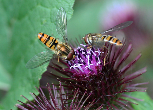Marmalade Hover Fly (Episyrphus balteatus) on Greater Burdock ...