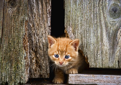 Micia rossa bellissima (Anto57 -) Tags: red cat kitty rosso gatto micio colorphotoaward catnipaddicts