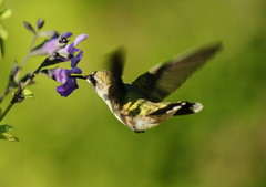 SWEET SALVIA! (Connie Etter Photography) Tags: hummingbird sony indiana 75300mm a700