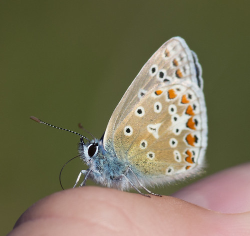 common blue butterfly drink salt from thumb