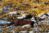 Fisherman in Fur (WanderWorks) Tags: ocean brown fish canada beach wet newfoundland fur rocks labrador stones american kelp shore mink prey tidal zone vison mustelavison mustela dsc3990nc2b1g