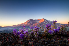Rebuild and destroy (Squid Vicious) Tags: flowers mountain sunrise volcano washington purple wildflowers mountsthelens giffordpinchotnationalforest