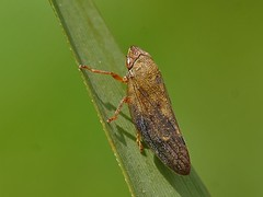 FrogHopper - Aphrophora salicina (Birds and Bugs) Tags: macro nature bug insect geotagged fly wildlife bugs british cambridgeshire squashbug entomology shieldbug coreidae froghopper raynox hemiptera raynoxdcr150 britishinsects aphrophoridae canonefs55250mmis aphrophorasalicina pentamoidea geo:lat=5244267389620624 geo:lon=01937674589435112