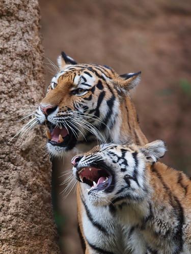 多摩動物公園 アムールトラ