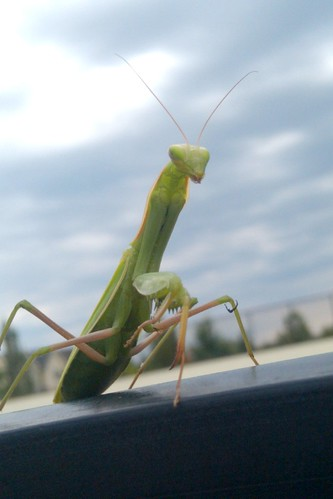 2011.08_praying mantis