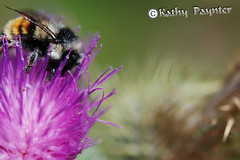 Thistle Bee (kathypaynter.com) Tags: flowers plants thistle insects bee bumblebee beemacro beeonthistle beethistle thistlebee beeonathistle
