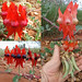 Fabaceae>Swainsona formosa Sturt's Desert Pea DSCF4364comp