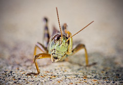 A Real Head Scratcher (Kurayba) Tags: canada macro grass closeup bug insect moving edmonton arm pentax head leg sidewalk alberta grasshopper 100 hopper dfa wr raised k5 scratching pentaxsmcpdfa100mmf28