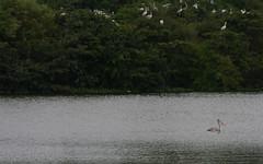 The black sheep of the flock (Nagarjun) Tags: birds bangalore herons madivala madiwala spotbilledpelicans egerts