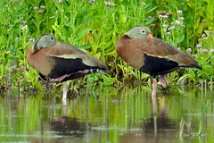 Black-Bellied Whistling Ducks (Brian E Kushner) Tags: new black birds animals duck nikon wildlife nj belly jersey brigantine f4 forsythe bellied whistling birdwatcher forsythenwr blackbellied blackbelliedwhistlingduck 600mm nikor dendrocygnaautumnalis forsythenationalwildliferefuge oceanville afsnikkor600mmf4gedvr d7000 bkushner brianekushner nikond7000 nikon600mmf4afsvr