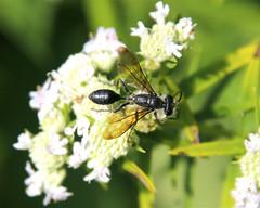 Grass-carrying Wasp (milesizz) Tags: grasscarryingwasp isodonitamexicana apoidwasps apoidea sphecidae threadwaistedwasps sphecinae sphecini wisconsin wi milwaukee