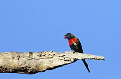 Rainbow Lorikeet :  ... i don't think so ... (Clement Tang ** Busy **) Tags: morning winter bird nature wildlife parrot australia bluesky victoria rainbowlorikeet avian itchy scratching birdwatcher trichoglossushaematodus closetonature concordians candlebarkpark