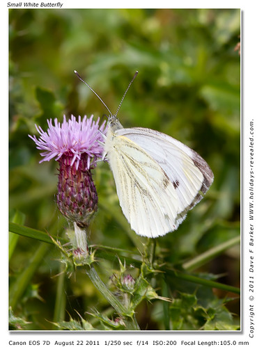 Small White Butterfly Primrose Hill Birkacre Yarrow Valley Chorley Lancashire