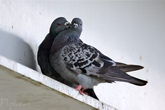 Sealed With A Kiss (flipkeat) Tags: two ontario canada love birds rock closeup digital port kiss kissing funny different photos amor unique pigeon wildlife pigeons sony awesome birding preening credit livia romantic birdwatching amore checker avian courtship loveydovey columba behaviour portcredit columbidae pigeonbiset likeloversdo allopreening dslra500