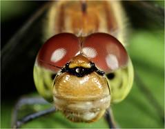Groe Heidelibelle (Sympetrum striolatum) (makro10nh) Tags: macro nature focus natur macros makro fokus libellulidae anisoptera makros sympetrum sympetrumstriolatum segellibellen sympetrinae heidelibellen groslibellen groseheidelibelle me2youphotographylevel1