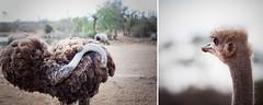 Yo no escondo la cabeza, soy todo corazn .... (Carmen Hache) Tags: africa nature animal wildlife viajes avestruz vacaciones dptico swazilandia planetadyp