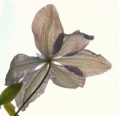 Clematis (algo) Tags: white flower green garden topf50 clematis topv222 algo backlighting excellence translucence 50f