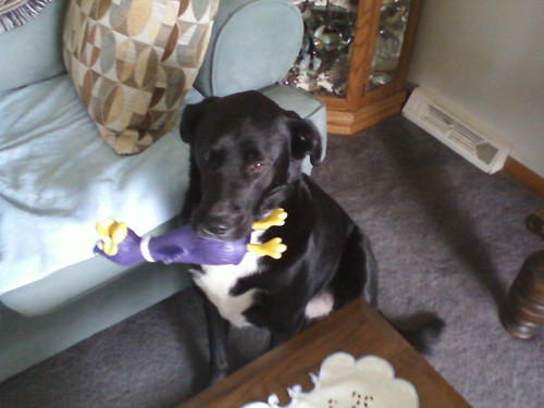 Dabney - black Labrador Retriever