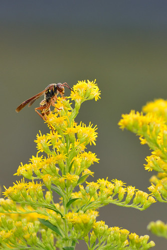 Wasp on Goldenrod DSC_9052
