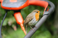 Mowing the lawn!!! (Mukumbura) Tags: bird nature robin grass garden outdoors wildlife help lawnmower redbreast helper flymo mowingthelawn
