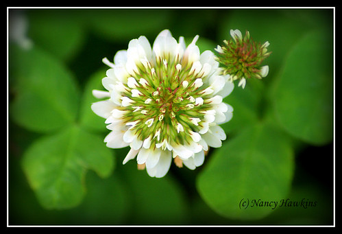 Clover by Nancy Hawkins